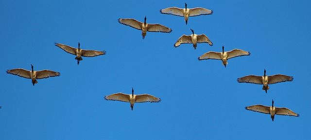 wild-geese-578098_640